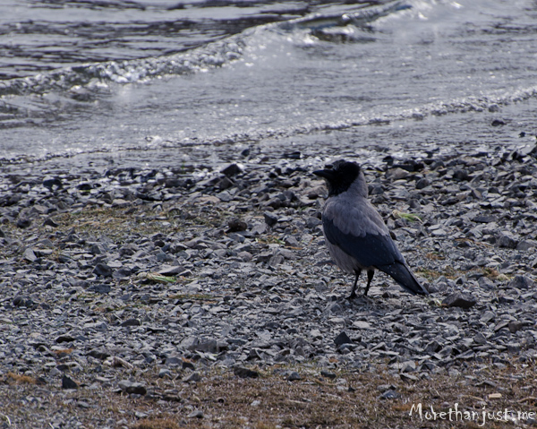 Hooded crow Mull 0313